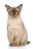背景缅甸猫白色 库存照片