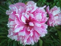 背景美丽的刀片花园 免版税图库摄影