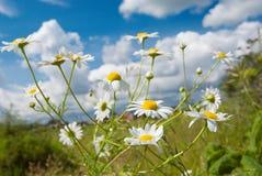 背景美丽的春黄菊天空 库存图片