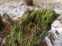 背景美丽的森林 33c 1月横向俄国温度ural冬天 绿色树桩 免版税库存照片