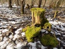 背景美丽的森林 33c 1月横向俄国温度ural冬天 绿色树桩 免版税图库摄影