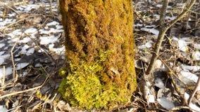 背景美丽的森林 33c 1月横向俄国温度ural冬天 绿色树桩 免版税库存图片