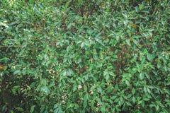 背景美丽的绿色叶子 库存图片