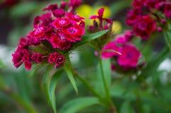 背景美丽的花束看板卡康乃馨花园 免版税图库摄影