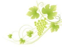 背景美丽的葡萄绿色藤 图库摄影