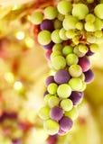 背景美丽的葡萄 库存图片
