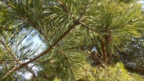 背景美好的例证向量冬天 森林横向杉木 大美丽的杉树 库存照片