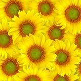 背景美好的向日葵黄色 免版税库存照片