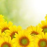 背景美好的向日葵黄色 免版税图库摄影