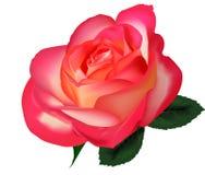 背景美好的玫瑰色茶向量白色 库存例证