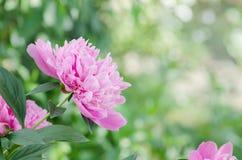 背景美好的装饰花牡丹粉红色春天 在绿色叶子的桃红色牡丹 库存图片