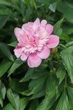 背景美好的装饰花牡丹粉红色春天 在绿色叶子的桃红色牡丹 免版税库存图片