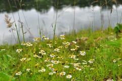 背景美好的雏菊草甸春天 免版税库存图片