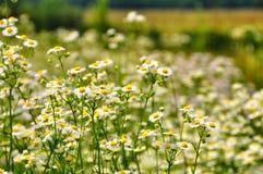 背景美好的雏菊草甸春天 库存照片