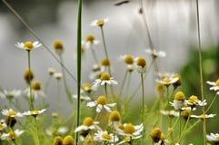 背景美好的雏菊草甸春天 免版税库存照片