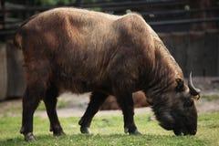 背景羚牛属查出在扭角羚taxicolor白色 免版税库存照片