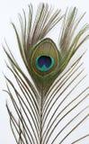 背景羽毛孔雀白色 免版税图库摄影