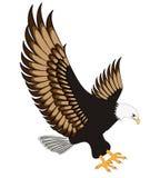 背景老鹰飞行被绝缘的白色 免版税图库摄影
