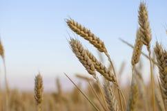 背景耳朵领域麦子 黄色麦田的成熟的耳朵背景在日落多云橙色天空背景的 复制空间 免版税库存照片