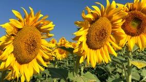 背景自然向日葵 向日葵开花 影视素材