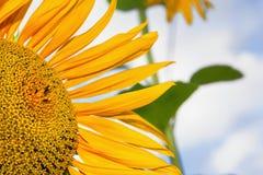 背景自然向日葵 免版税库存照片