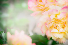 背景花卉玫瑰 免版税库存图片