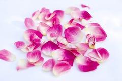 背景花卉瓣玫瑰色系列 库存图片