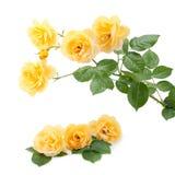背景花束查出的玫瑰空白黄色 免版税库存照片