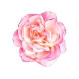 背景花查出的粉红色玫瑰白色 免版税库存照片
