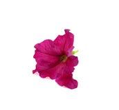背景花粉红色白色 免版税库存图片