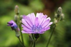 背景花绿色紫色 开花在森林 山莴苣属tatarica 库存照片