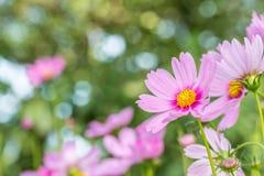 背景花,桃红色波斯菊 库存图片