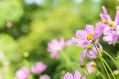背景花,桃红色波斯菊 免版税库存图片