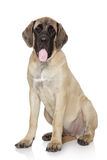 背景英国大型猛犬小狗白色 库存照片