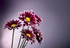 背景菊花亮紫色地点 库存图片