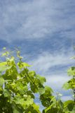 背景葡萄园 免版税图库摄影