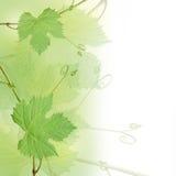 背景葡萄绿色叶子 免版税图库摄影