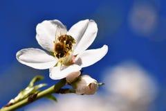 背景蒲公英充分的草甸春天黄色 与蜂的美妙地开花的树 花本质上 免版税库存图片