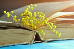 背景蒲公英充分的草甸春天黄色 在温暖的口气的春天静物画-在桌上的旧书在与小的含羞草的晴朗的光下分支 库存图片