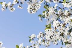 背景蒲公英充分的草甸春天黄色 开花的樱桃框架分支反对蓝色春天天空 文本的空位 库存图片