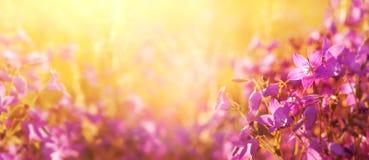 背景蒲公英充分的草甸春天黄色 免版税库存照片