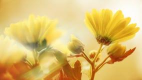 背景蒲公英充分的草甸春天黄色 免版税图库摄影
