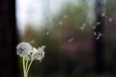 背景蒲公英在照片种子的光宏指令 库存照片
