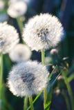 背景蒲公英嫩叶阳光白色 图库摄影