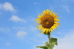 背景蓝天向日葵 库存照片