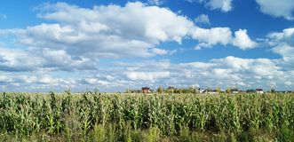 背景蓝天的玉米田 免版税库存图片