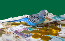 背景蓝绿色波浪货币的鹦鹉 库存图片