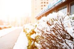 背景蓝色云彩调遣草绿色本质天空空白小束 在灌木的第一雪在太阳的光芒, 免版税库存图片