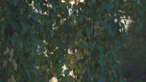 背景蓝色云彩调遣草绿色本质天空空白小束 放光在桦树叶子之间的日落太阳 影视素材