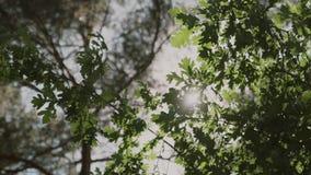 背景蓝色云彩调遣草绿色本质天空空白小束 美好的太阳亮光通过吹在风树绿色离开,慢动作 股票视频
